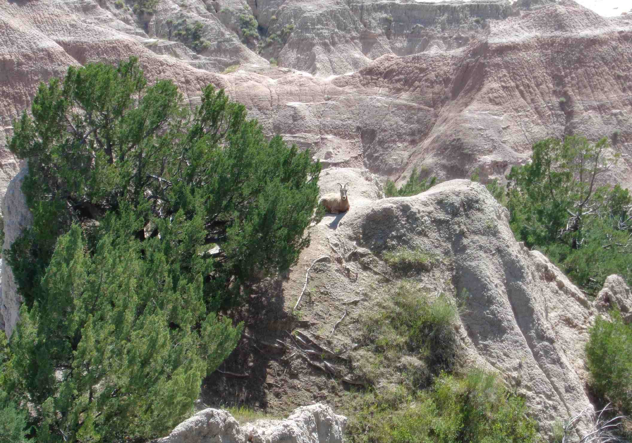 Goat at Badlands