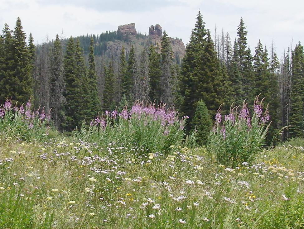 Chamerion Angustifolium in CO